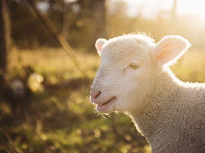 Schaf Seite Schnalstal
