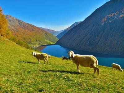 Schafe im Herbst, © Karmen Nahberger