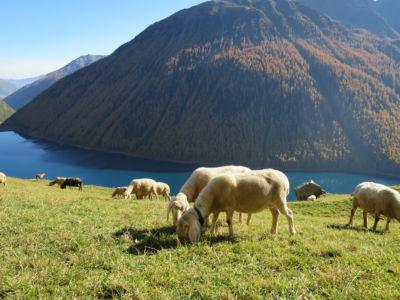 Schafe mit Berg im Herbst
